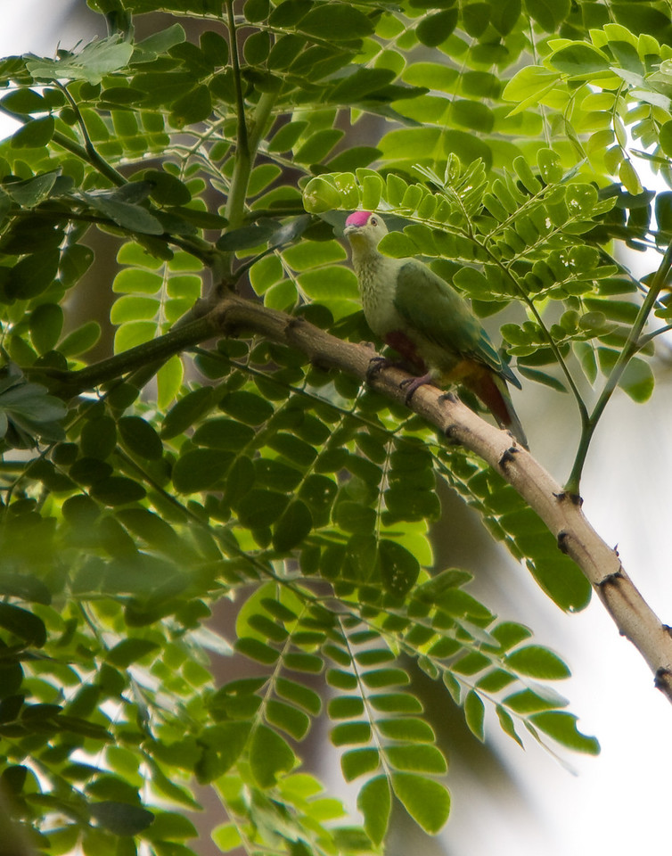 Red-bellied Fruit Dove.<br /> <br /> Location: Santo island, Vanuatu<br /> <br /> Lens used: Canon 70-200mm f2.8 IS with 2.0x extender