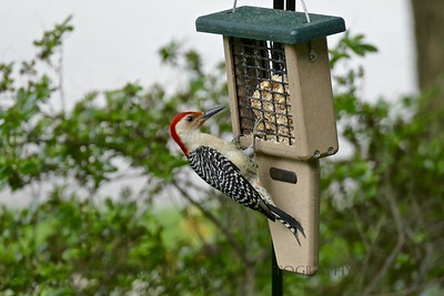Red Headed Woodpecker at the feeder