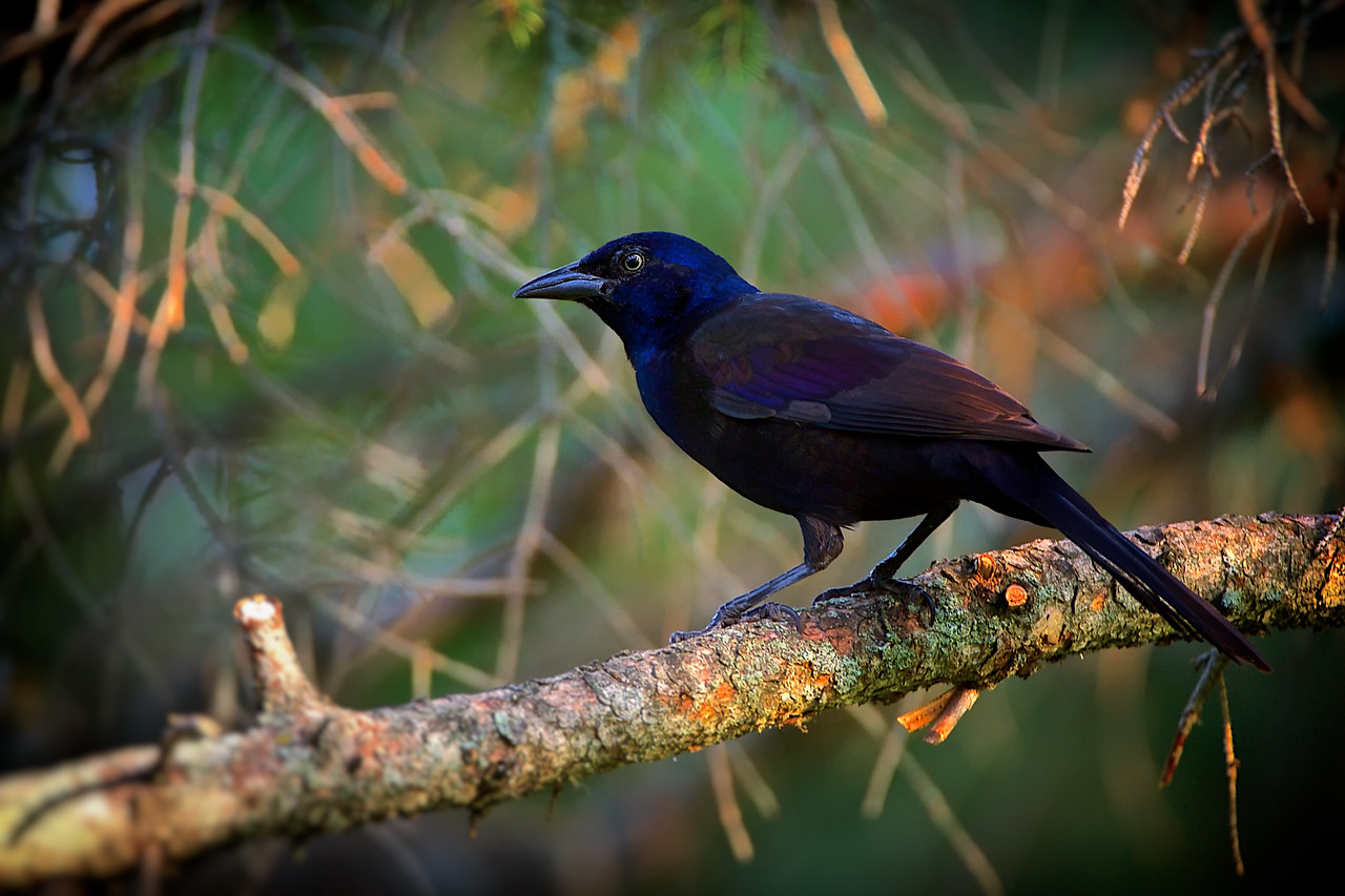 Lots of Grackles visiting the yard over the past few days