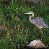 bird; great blue heron; wildlife; wisconsin; darlene jansen photography;