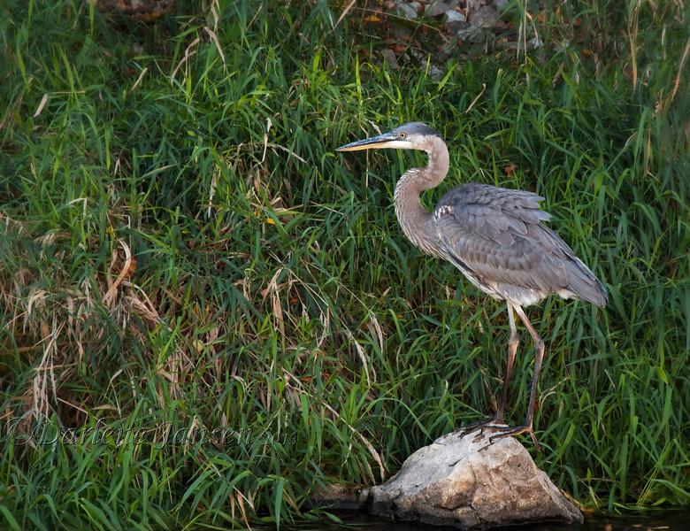 bird; great blue heron; wildlife; wisconsin; darlene jansen photography;