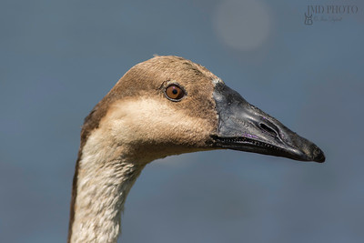 Swan goose head in close up against clean plain background.