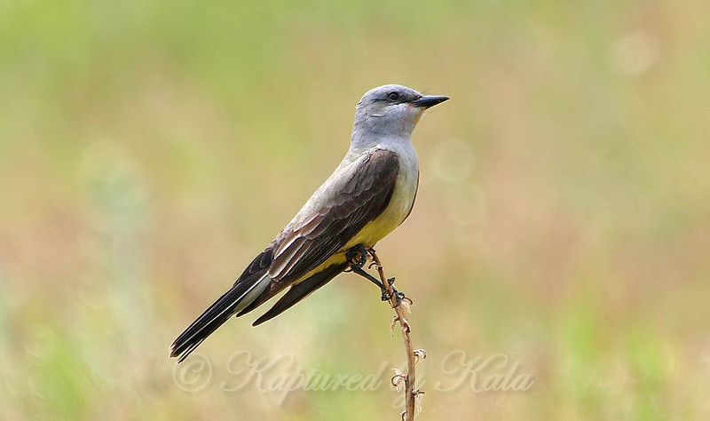 Getting Closer To The Western Kingbird