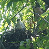 Mama Cooper's Hawk With Her Nestlings