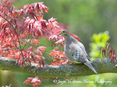 Mourning Dove on Red Maple tree