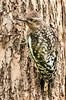 Yellow-Bellied Sapsucker, Sphyrapicus varius