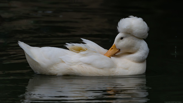 A Crested Duck
