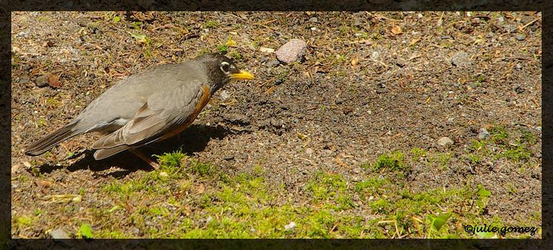 American Robin ~ Turdus migratorius