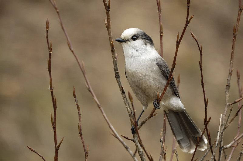 Gray Jay - Riding Mountain National Park, Manitoba
