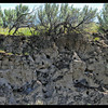 Bank Swallow Nests ~ Riparia riparia