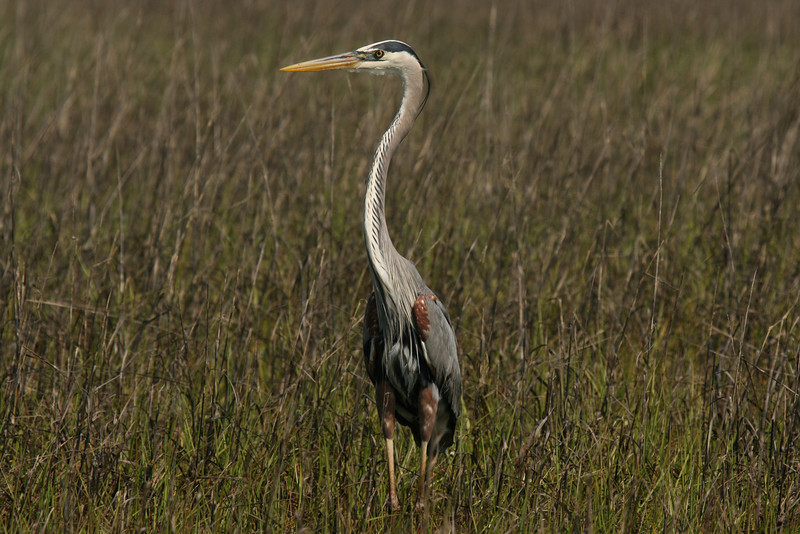 Great Blue Heron #20