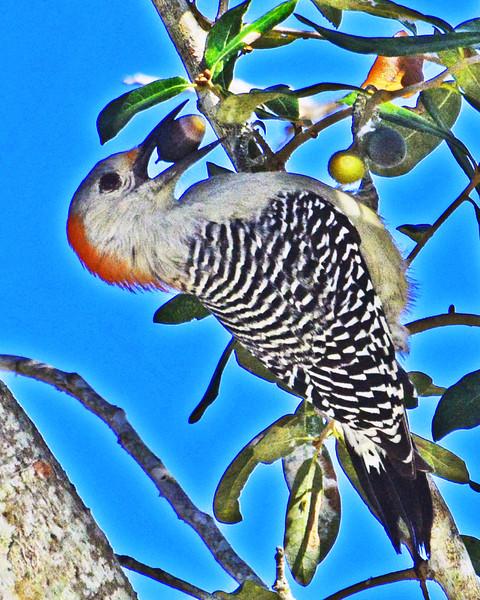 Red-bellied Woodpecker feeding on an acorn.
