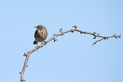 Meadow Pipit on Greenham Common Newbury