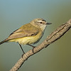 Yellow-rumped Thornbill, Federation Walk Coastal Reserve
