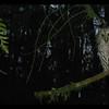 Barred Owl ~ Strix varia