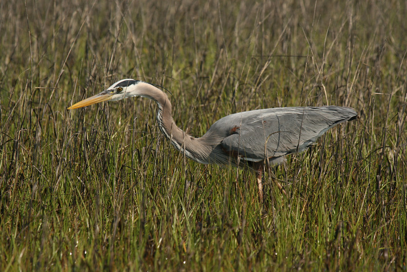 Great Blue Heron #24