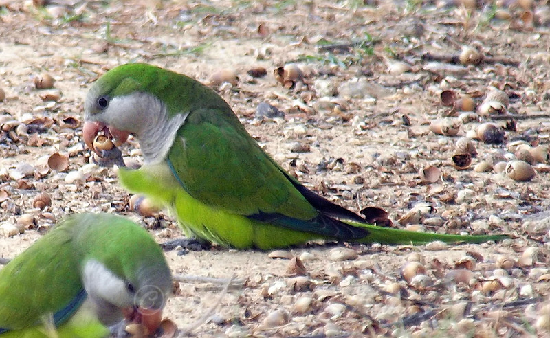 Monk Parakeets Eating Acorns View 5