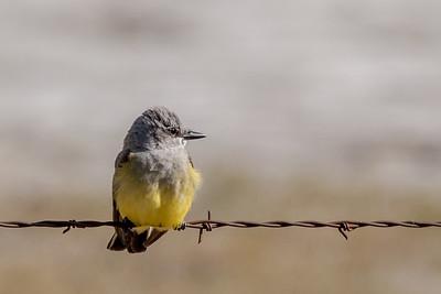 Pensive - Western Kingbird