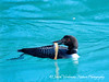 Common Loon with Trout