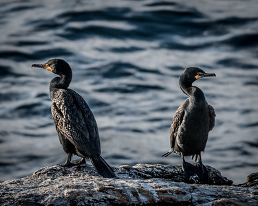 Cormorant bookends