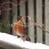 Turdus migratorius – American robin 2