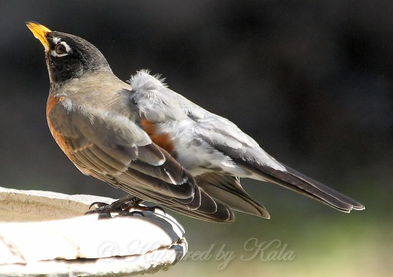 Bizarre American Robin With Aberrant Leucistic feathers View 1