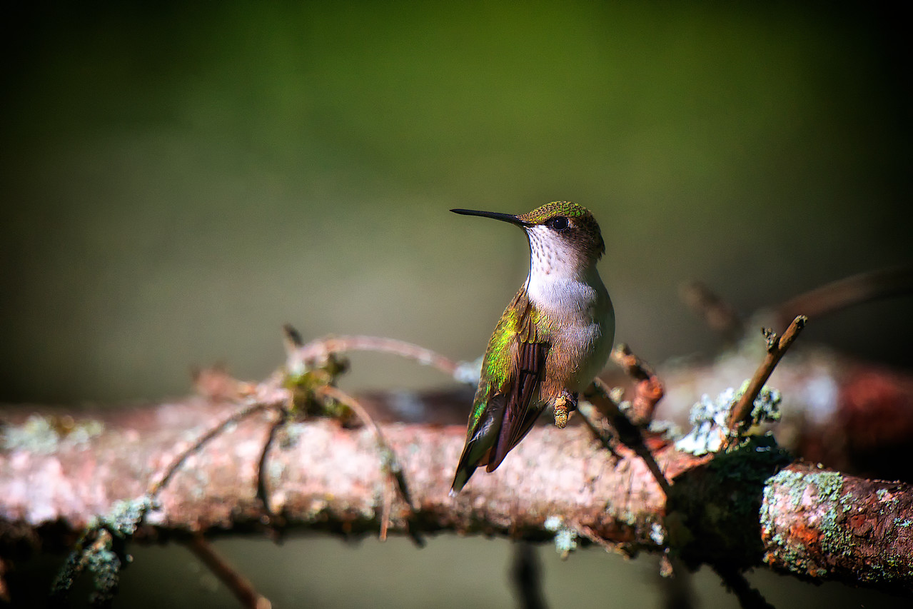 Female Ruby Throated Hummingbird at rest