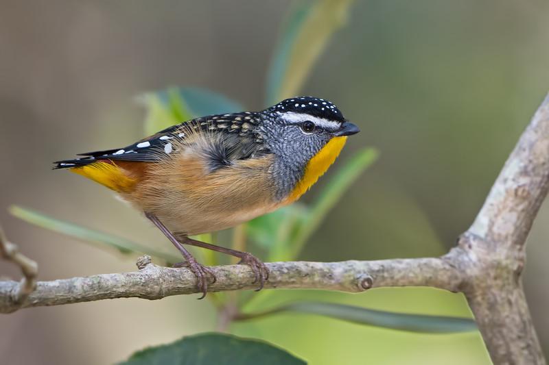 Male Spotted Pardalote (Pardalotus punctatus), Tallebudgeraba Creek, Burleigh Heads, Queensland.