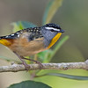 Male Spotted Pardalote (Pardalotus punctatus), Tallebudgeraba Creek, Burleigh Heads, Queensland.