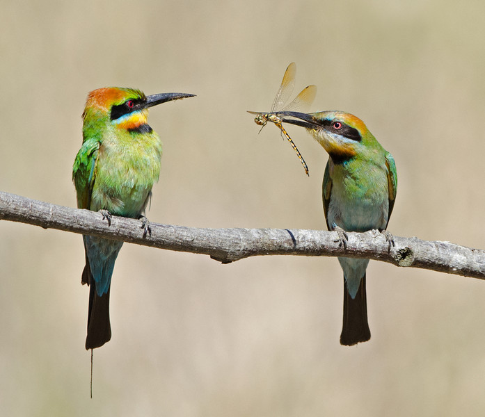 Female Rainbow Bee-eater offering a Drogonfly to the Male, Federation Walk, Gold Coast, Queensland.