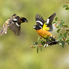 Black Headed Grosbeaks