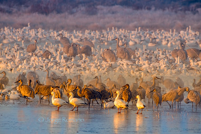 Sandhill Cranes and Snow Geese on frozen pond at dawn in Winter.