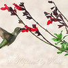 White Rock Lake Hummingbird View 1