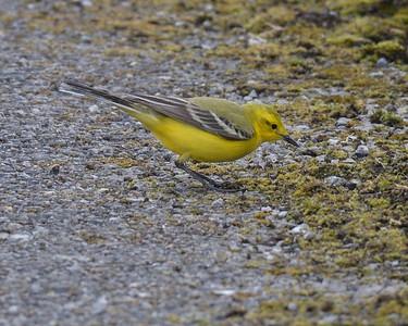 Yellow Wagtail at Farmoor 1st May 2017