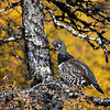 Spruce Grouse - Labrador