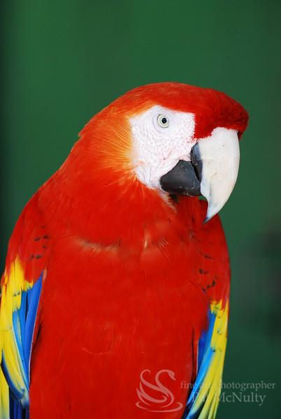 Scarlet Macau Parrot Bird Picture