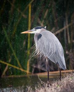 Heron in the Rain