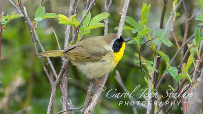 A male Common Yellowthroat Warbler was spotted at Huntley Meadows in Alexandria, VA on April 25, 2015.