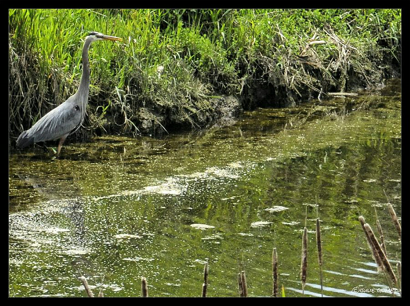 Great-Blue Heron Stalking the Creek