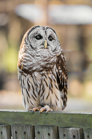 Saved owls and hawks pose at the Raptor Rehabilitation Center