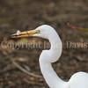 Ardea alba egretta – Great Egret Eating a Lizard