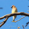 Blue Skies And Waxwings View 2
