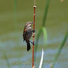 Female Red-winged Blackbirds Have a Small Red Patch on Their Shoulders Too