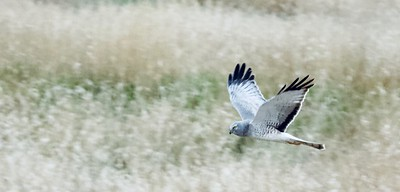 Painterly Harrier