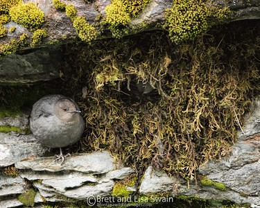 American Dippers At The Nest