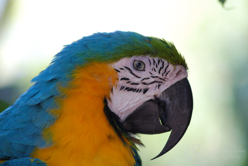Blue and Gold Macau Parrot Bird Picture