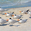 Least Terns, Clearwater Beach,   Florida.