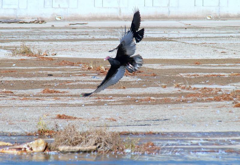 Again A Crow Attacks