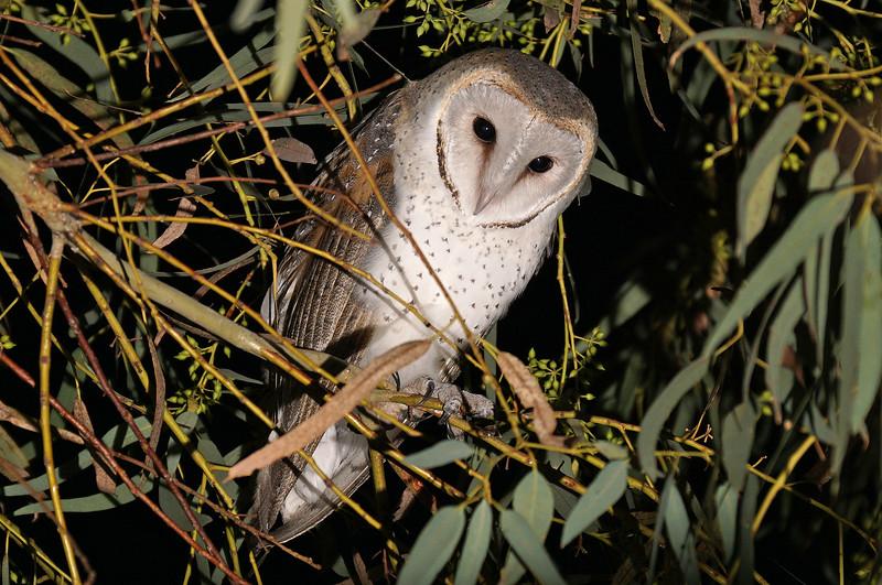 Barn Owl preparing for the hunt