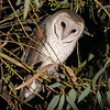 Barn Owl preparing for the hunt